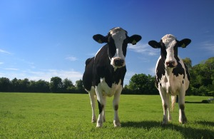 Today the average cow in the U.S. weighs 1350 pounds.
